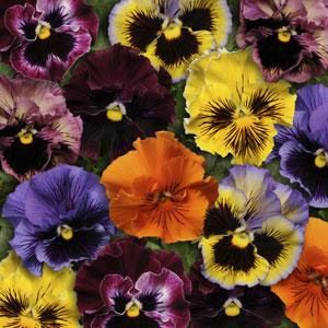 Pansy Seeds Pansy Frizzle Sizzle Mix Flower Seeds Pansies Fall Plants