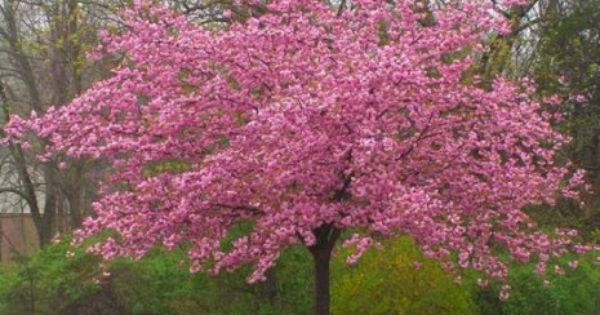 Stella Cherry Tree Flowering Cherry Tree Flowering Trees Weeping Cherry Tree