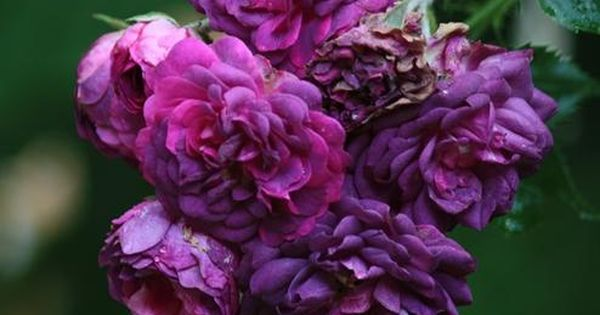 "The Rose ""Blue Magenta"". A beautiful blue/purple rose, a good climber, and"