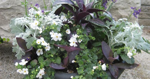 Dusty miller persian shield purple heart bacopa for Variegated grass with purple flower