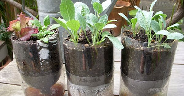 Green Roof Growers: Lacinato Kale in Recycled Pop Bottle Planters