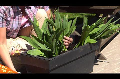 Tulipany Jak Uprawiac Tulipany W Donicach Kwiaty Na Balkon I Taras Youtube Plants