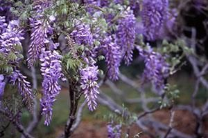 Dyk That Wisteria Is Toxic To Your Pets Scientific Name Wisteria Species Family Fabaceae Toxicity Toxic To Dogs Toxic To Cats Tox Tuin Rose Bloemen