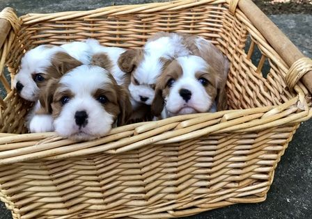 Litter Of 3 Cavalier King Charles Spaniel Puppies For Sale In Leices Cavalier King Charles Spaniel Spaniel Puppies For Sale King Charles Cavalier Spaniel Puppy