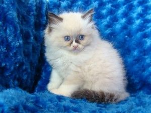 Ragdoll Kittens Available Erie Pa Asnclassifieds Ragdoll Kitten Ragdoll Cat Persian Kittens For Sale