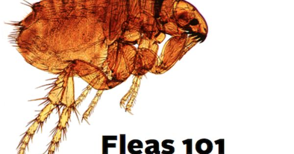 What You Need To Know About Fleas Fleas Flea And Tick Termite Prevention