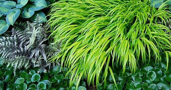 A Plant I D Order Hakonechloa All Gold Japanese Painted Fern Heuchera And Fern
