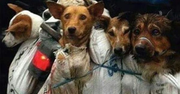 Dog Meat Festival Pictures In China