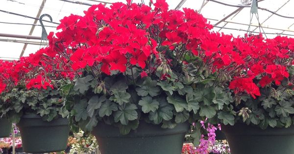 Hanging Flower Baskets Seattle : Power flowers geranium caliente fire hot hanging