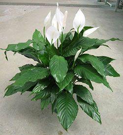 Power Petite Peace Lily Plant Lily Plants Peace Plant