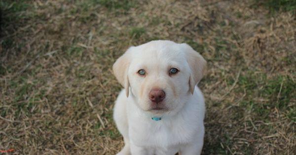 Litter Of 9 Labrador Retriever Puppies For Sale In Grand Prairie Tx Adn 23218 On Puppyfinder C Labrador Retriever Puppies For Sale Labrador Retriever Puppies