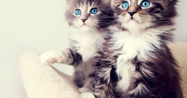 Animated baby Kittens | Pair Of Cute Kittens Sitting And Looking Cute