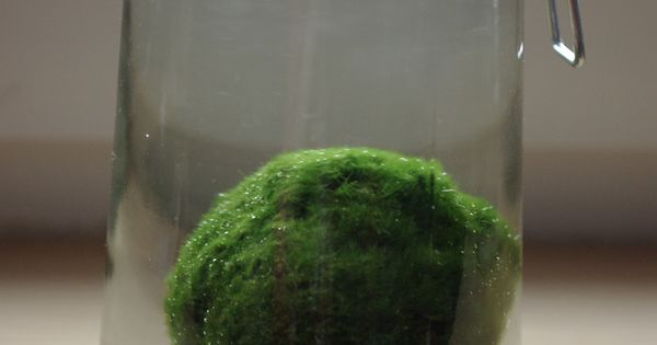 My sister just bought me a Marimo moss ball! Simple pleasures...