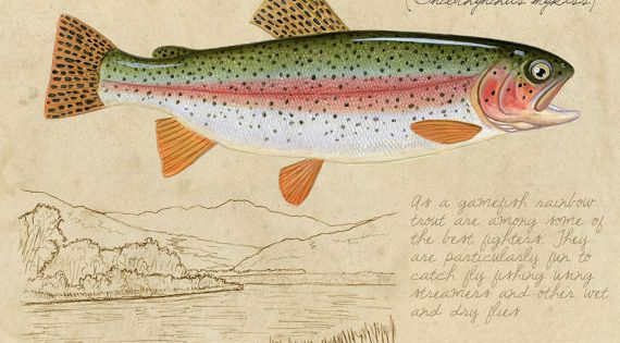 Rainbow Trout - 8x10 inch limited edition giclee print by Matt Patterson,