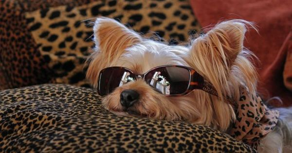 chillin yorkie! by carlasisters