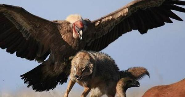Condor chasing Coyote | Fur, Fin and Feather | Pinterest ...