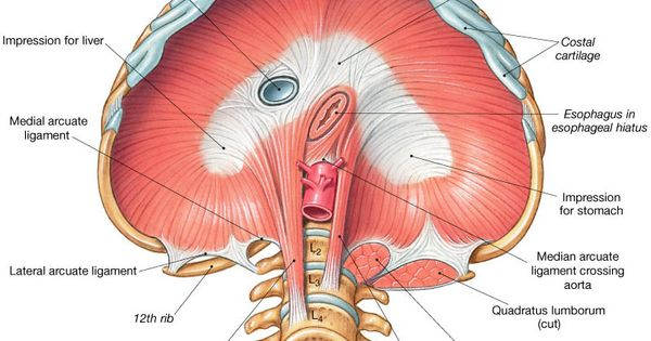 Muscles Used in Ventilation (Breathing). These muscles ...