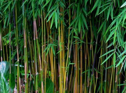 Fargesia sp jiuzhaigou 1 niet woekerend kan in groep en als haag winterhard kan bij strenge - Bamboe in bakken terras ...