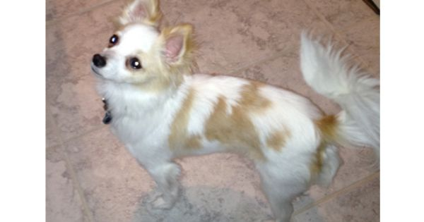 Lost Dog Chihuahua In Sandy Springs Gashort Url Pet Name