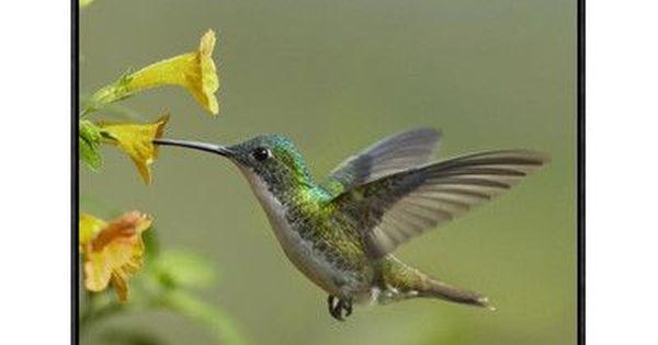 Global Gallery Andean Emerald Hummingbird Feeding On A Flower Ecuador By Tim Fitzharris Framed Photographic Print On Canvas Wayfair Hummingbirds Photography Global Gallery Hummingbird