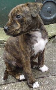 Staffordshire Bull Terrier Mixed With Chihuahua Staffy Dog
