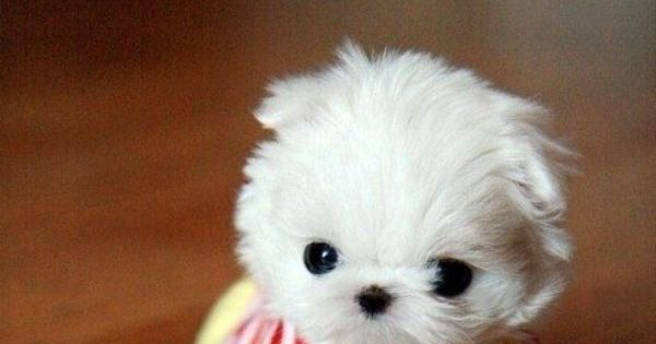 Teacup Maltese dog puppy animals