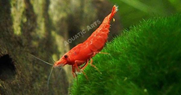 Robot Check Red Cherry Shrimp Cherry Shrimp Aquatic Arts
