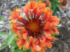 Gaillardia Tizzy Plant Finder Plants Plant Finder Missouri Botanical Garden