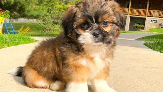 Sophie Shih Tzu Puppy For Sale In Canton Oh Buckeye Puppies Shih Tzu Shih Tzu Puppy Puppies