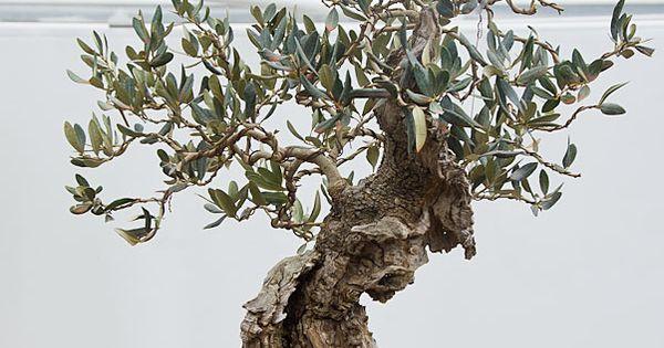 Olea Europaea Olive Bonsai Www E Www