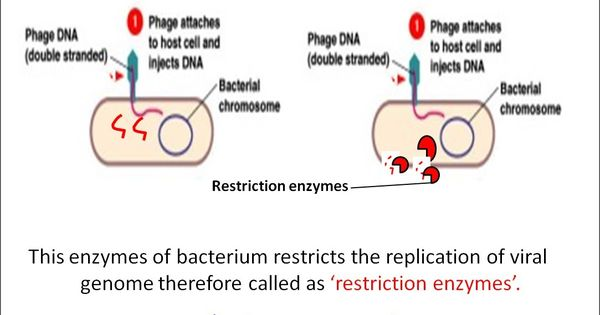 restriction enzymes definition types and cut patterns biotechnology notes pinterest. Black Bedroom Furniture Sets. Home Design Ideas