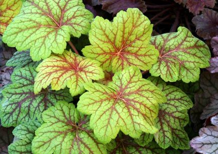1 HEUCHERA GREEN SPICE 9CM EVERGREEN