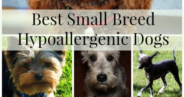 Best Small Breed Hypoallergenic Dogs Dog Pup And Animal