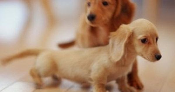 The Best Of Cutest Paw Dachshund Puppies Cute Animals Baby