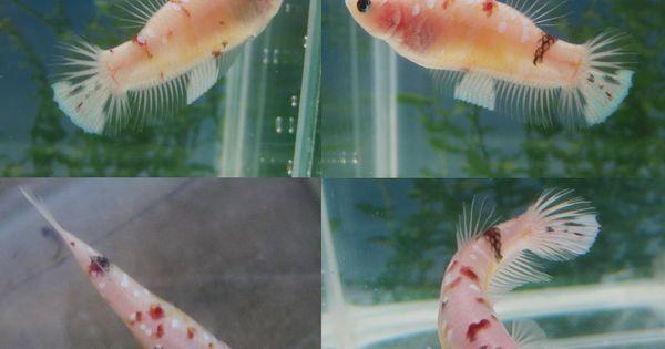 Female koi betta koi and giant bettas pinterest for Female koi fish
