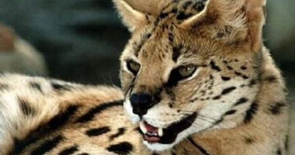 Cheetah Like Cat Reported Stolen Could Have Escaped In Caseville