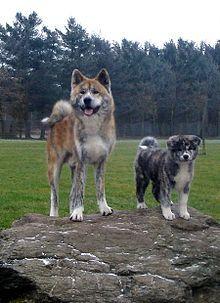 Akita Dog Akita Dog Dog Breeds Japanese Dog Breeds