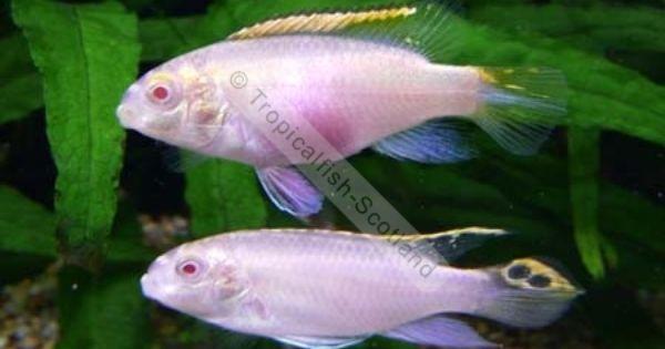 Kribensis Albino Cichlids Dwarfs Tropical Vissen