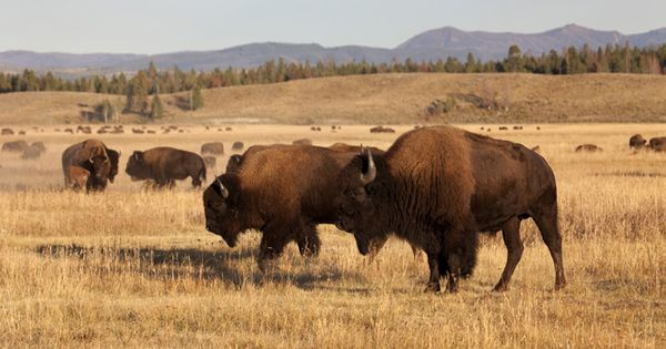 american buffalo bison hunting ranch history of the american buffalo bison buffalo. Black Bedroom Furniture Sets. Home Design Ideas