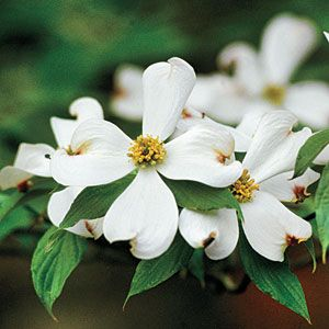 Dogwood Planting Guide Front Flower Beds Dogwood Trees Dogwood