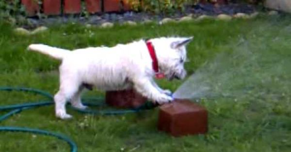 Westie Dog Having Fun With Water Youtube Chien Westie Animaux