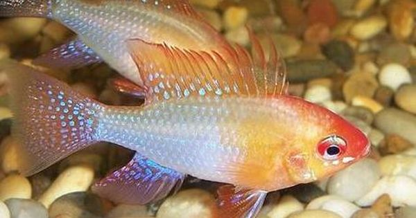 Gold Ram Cichlid My Favorite Cichlids So Colorful Aquarium Fish Cichlids Tropical Fish Aquarium
