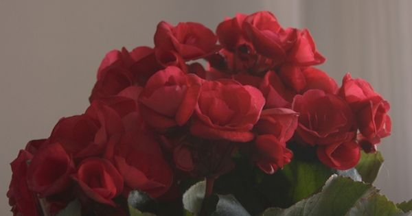 Are Begonias Poisonous To A Baby Ehow Begonia Flowers Plants