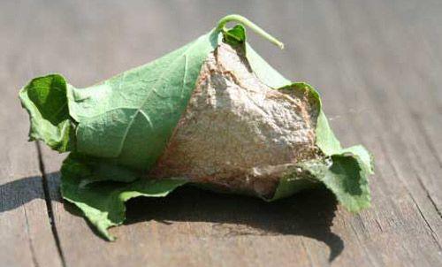 Live New Healthy Luna Moth Cocoons