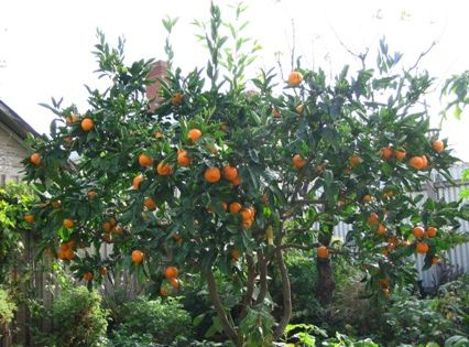 Prune fruit trees to increase production and to create a hedge of trees gardening pinterest - Fruit trees every type weather area ...