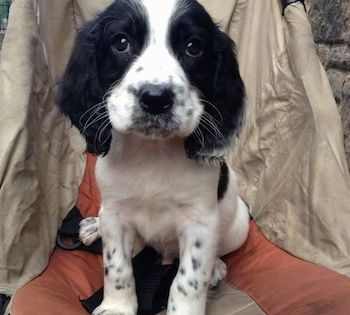 Close Up Winter Sam The Black And White Ticked English Springer Spaniel Puppy Is Sit English Springer Spaniel Puppy Springer Spaniel Puppies Springer Spaniel