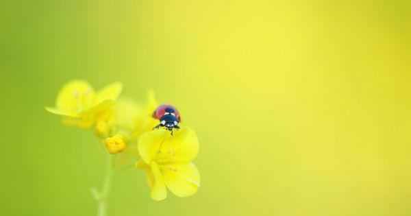 First Ladybug This Year てんとう虫 チョークアート 菜の花