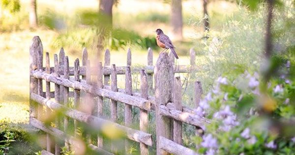 White picket fence with robin sitting on it..... perfect