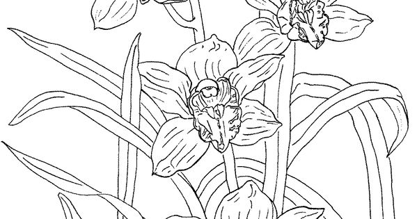 Coloring Pages Of Orchids Cymbidium Rosanna Orchid