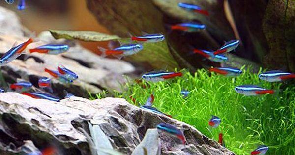 Iwagumi Scape With Neon Tetras Neon Tetra Neon Tetra Fish Fresh Water Fish Tank
